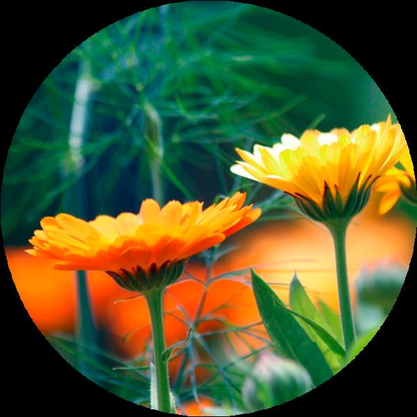 Caléndula Reset, detox primaveral de 28 días | Beewellness Nutrition | Palma de Mallorca